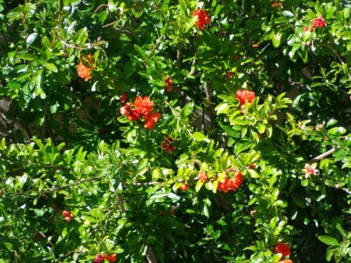 Granat-frukt-kladez-zdorovya